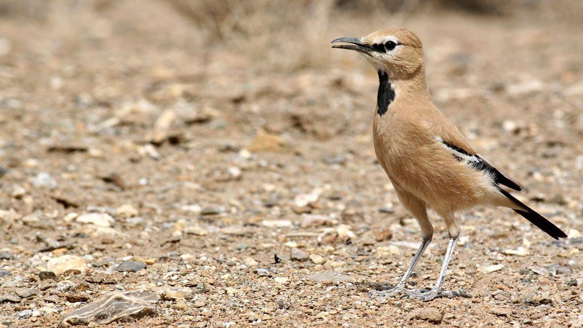 زاغ بور، تنها پرنده اندمیک ایران را بهتر بشناسید