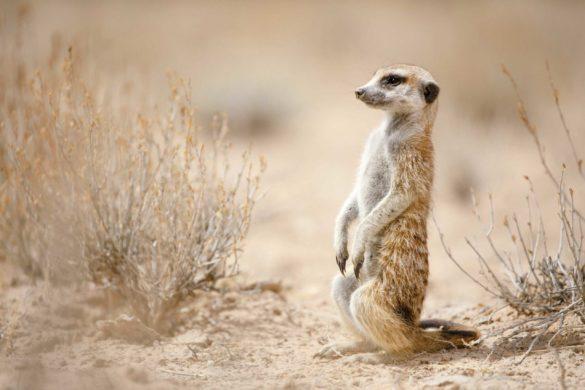 آشنایی با پارک ملی کالاهاری آفریقای جنوبی