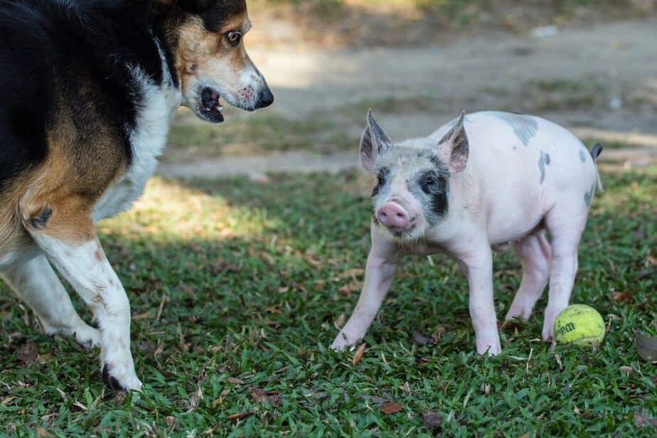 گذاشتن نام ناپلئون بر روی خوکها ممنون است!