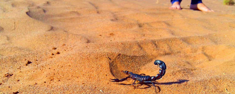 A Scorpion in Mesr Desert